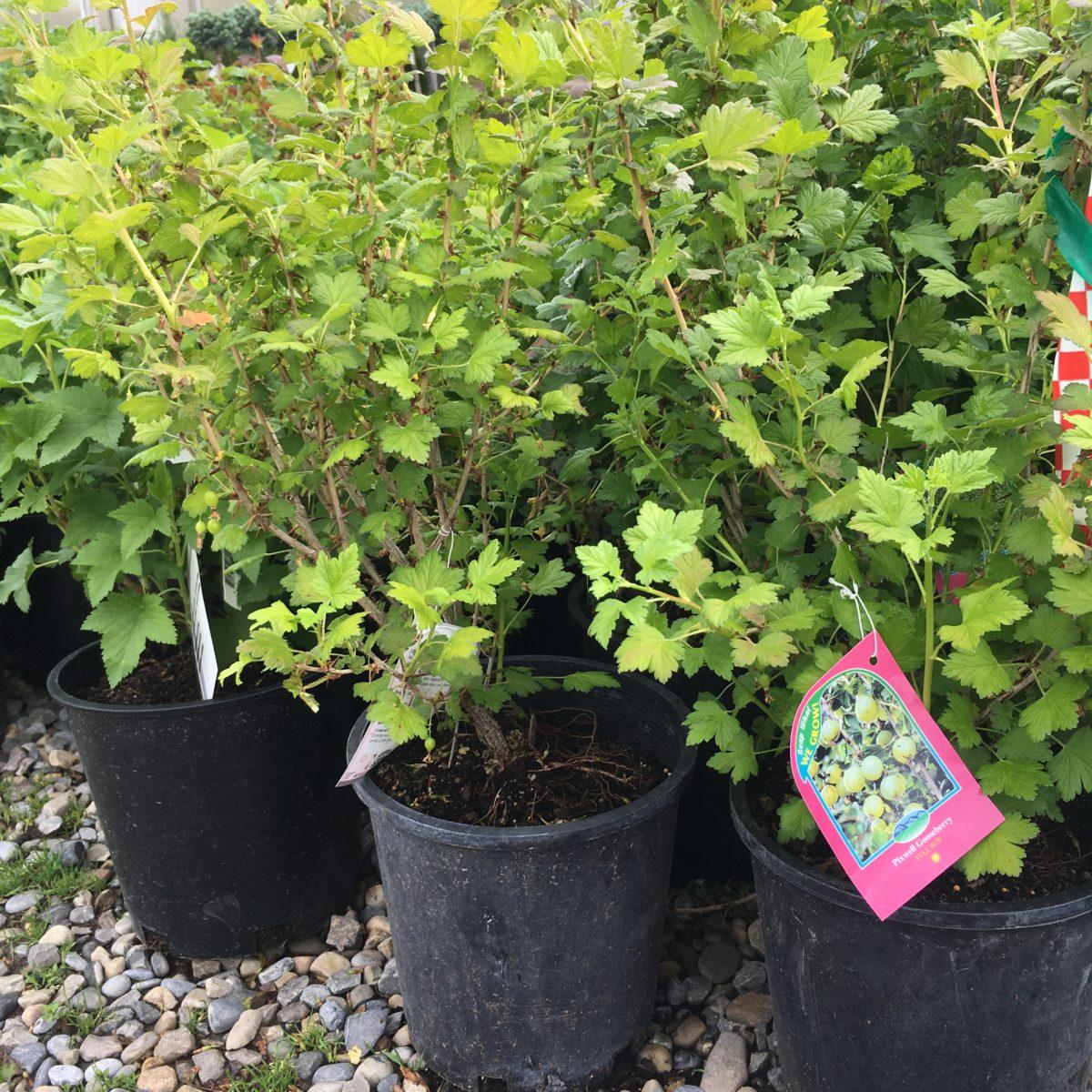 Pixwell Gooseberry – Trees & Shrubs - Cochrane Garden Center